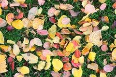Folhas caídas das árvores na grama verde tosquiado Foto de Stock