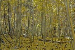 Folhas caídas do álamo tremedor Fotos de Stock