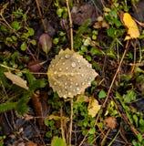 Folhas caídas do álamo tremedor Fotos de Stock Royalty Free