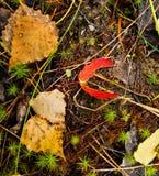 Folhas caídas do álamo tremedor imagens de stock royalty free