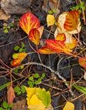 folhas caídas do álamo tremedor Imagens de Stock