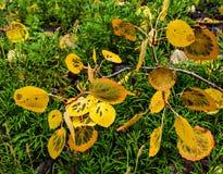 Folhas caídas do álamo tremedor Foto de Stock Royalty Free