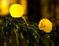 Folhas caídas do álamo tremedor Imagem de Stock