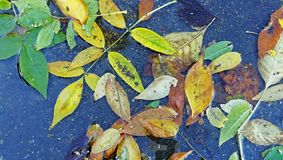 Folhas caídas do amarelo em uma poça Imagens de Stock Royalty Free