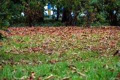 Folhas caídas do amarelo no parque bonito da queda fotografia de stock