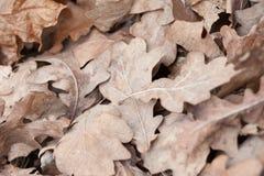 Folhas caídas do carvalho, foto macro Fotos de Stock Royalty Free