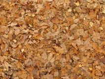 Folhas caídas do carvalho na floresta do outono Foto de Stock Royalty Free