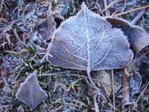 Folhas caídas do Poplar Fotografia de Stock