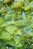 Folhas caídas em algas Imagens de Stock