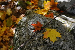 Folhas caídas em uma parede de pedra em uma madeira de Nova Inglaterra Imagens de Stock