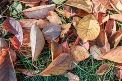 Folhas caídas na grama verde sob a luz do sol Folha na grama verde para seu fundo Conceito de Autumn Time fotografia de stock royalty free