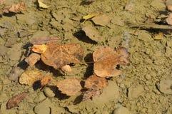 Folhas caídas na poça Imagens de Stock Royalty Free