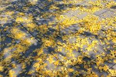 Folhas caídas outonais Fotografia de Stock