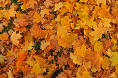Folhas caídas Outono dourado Imagem de Stock Royalty Free