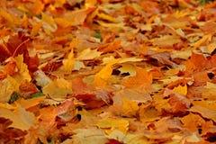 Folhas caídas Outono dourado Imagens de Stock Royalty Free