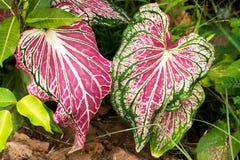 Folhas candidum do Caladium da orelha de elefante cor-de-rosa e veias verdes fotos de stock