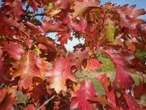 Folhas cinzeladas vermelho Imagem de Stock Royalty Free