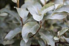 Folhas clareando verdes no arbusto do jardim, foto do verão da folha das hortaliças fotografia de stock royalty free