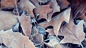 Folhas cobertas com a geada, fim acima vídeos de arquivo