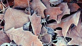 Folhas cobertas com a geada, fim acima filme
