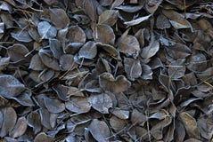 Folhas cobertas com a geada, fim acima Imagens de Stock Royalty Free