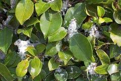 Folhas cobertas com o fluff branco macio, doença da árvore foto de stock royalty free