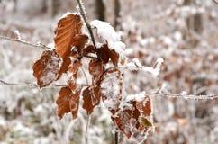 Folhas cobertos de neve Foto de Stock Royalty Free