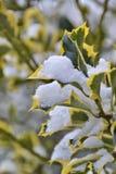 folhas cobertos de neve de uma árvore Fotos de Stock