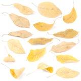 Folhas coloridas bonitas da cereja do outono do grupo da coleção fotografia de stock