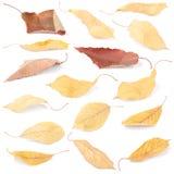 Folhas coloridas bonitas da cereja do outono do grupo da coleção foto de stock royalty free