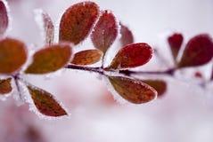 Folhas coloridas congeladas Fotos de Stock
