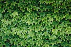 Folhas coloridas da hera no verão, fundo Imagens de Stock Royalty Free