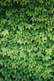Folhas coloridas da hera no verão, fundo Imagem de Stock Royalty Free