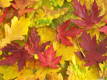 Folhas coloridas da queda imagens de stock