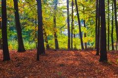 Folhas coloridas das árvores de floresta das profundidades do outono Imagem de Stock Royalty Free