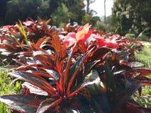 Folhas coloridas das plantas com vermelho e verde fotografia de stock royalty free