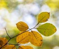 Folhas coloridas de Autum da faia Fotografia de Stock Royalty Free