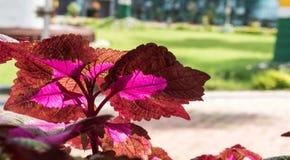 Folhas coloridas de um fim decorativo da planta acima fotografia de stock royalty free