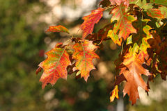 Folhas coloridas do carvalho do outono Fotos de Stock Royalty Free