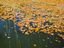 Folhas coloridas do carvalho na água Imagem de Stock Royalty Free
