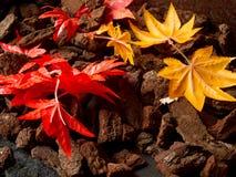 Folhas coloridas do mapple Fotos de Stock