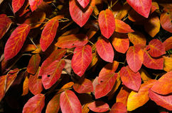 Folhas coloridas do sopro do sável Fotos de Stock Royalty Free