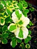Folhas coloridas dobro fundo e papel de parede macro do creticus do Cistus nos produtos de alta qualidade das cópias imagens de stock