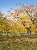 Folhas coloridas em árvores de cereja no pomar de cereja do outono perto do odijk na província de utrecht nos Países Baixos imagem de stock