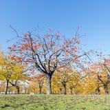 Folhas coloridas em árvores de cereja no pomar de cereja do outono perto do odijk na província de utrecht nos Países Baixos imagens de stock