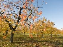 Folhas coloridas em árvores de cereja no pomar de cereja do outono perto do odijk na província de utrecht nos Países Baixos imagem de stock royalty free