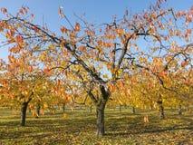 Folhas coloridas em árvores de cereja no pomar de cereja do outono perto do odijk na província de utrecht nos Países Baixos imagens de stock royalty free