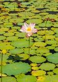 Folhas coloridas na água 3 Fotografia de Stock