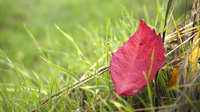 Folhas coloridas na grama Fotografia de Stock