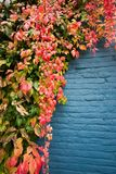 Folhas coloridas na parede azul Foto de Stock Royalty Free